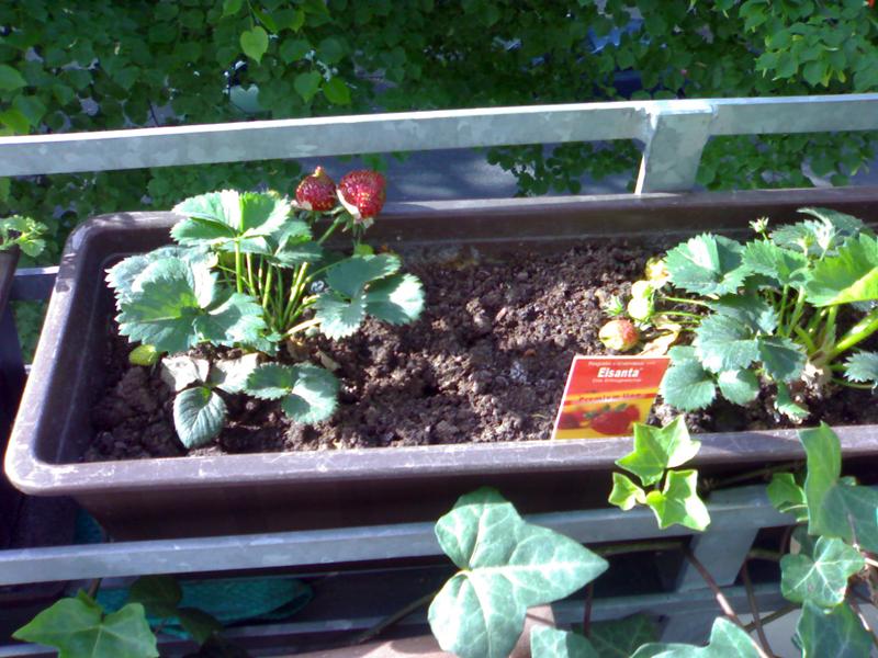 erdbeeren auf balkon berwintern erdbeeren selbst pflanzen. Black Bedroom Furniture Sets. Home Design Ideas